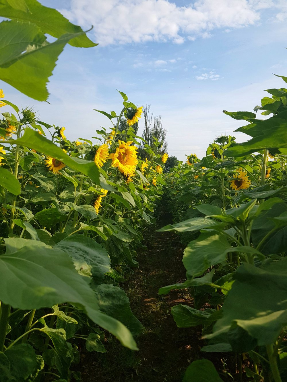 Pick your own sunflowers in Leicestershire