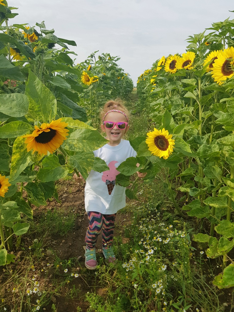 Sunflower picking in the fields at Cattows Farm