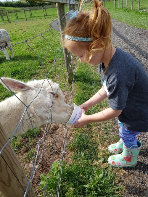 Feeding the sheep and alpacas was definitely a highlight