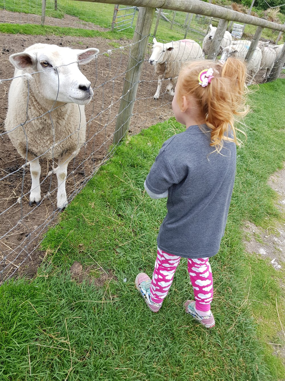 Feeding the sheep at Matlock Farm Park