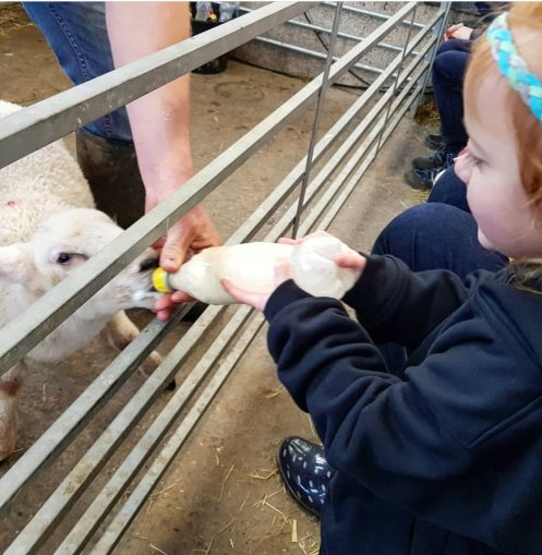 Feeding the lambs in the spring