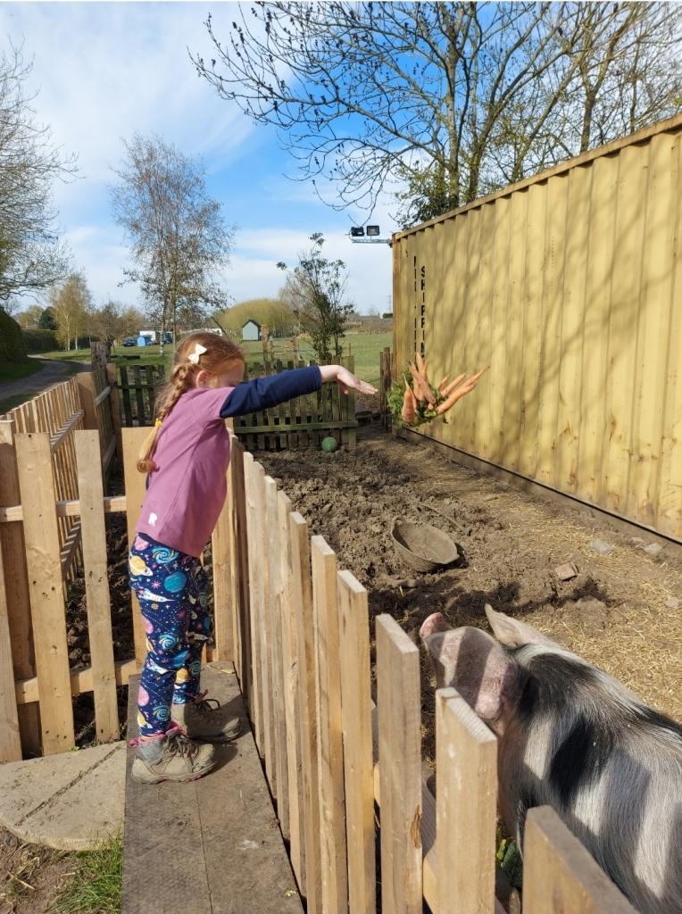 Feeding the pigs on the farm