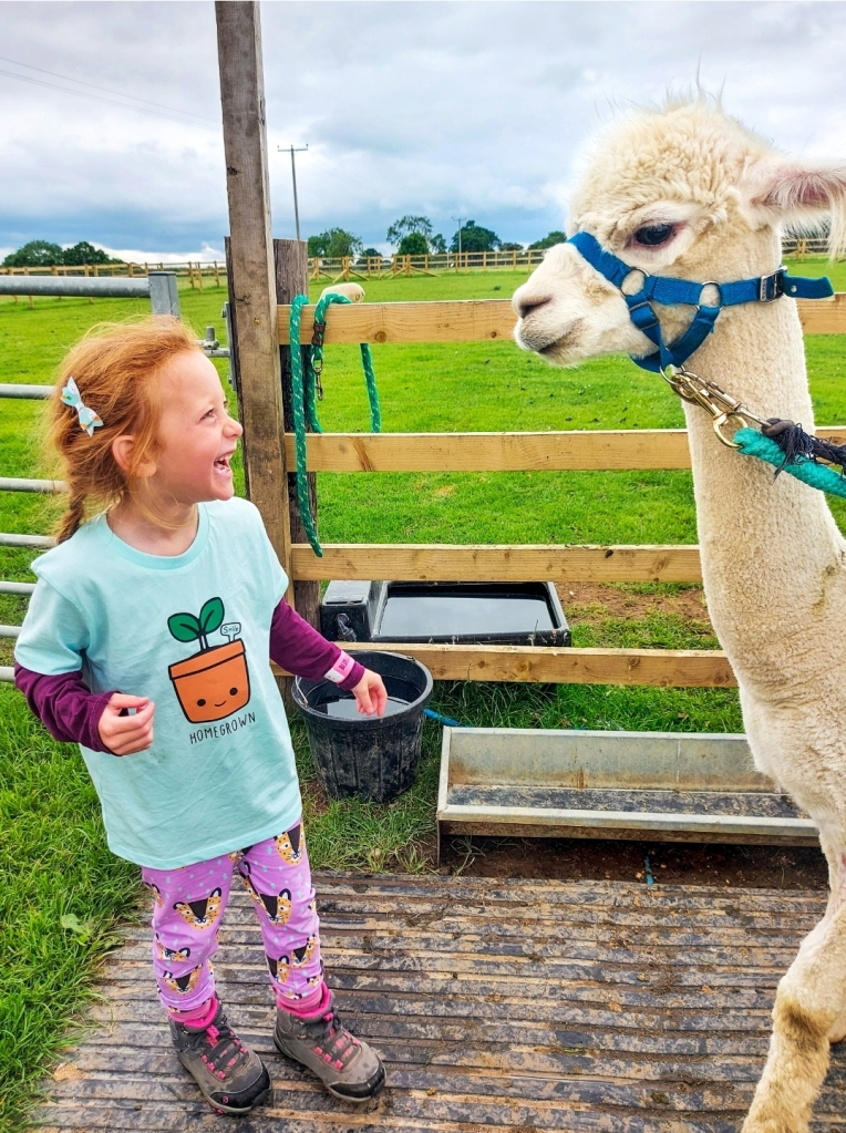 Happiness is an alpaca! Walking alpacas at Bluebell Dairy