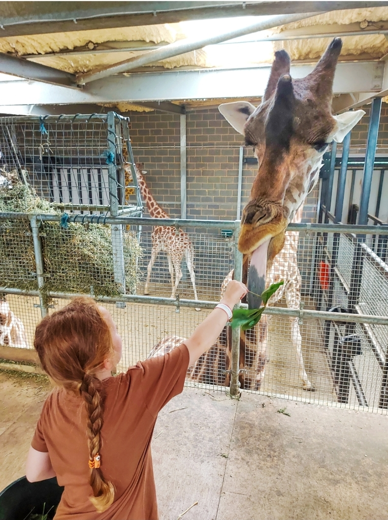 Giraffe feeding at Chessington World of Adventures